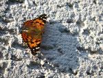 Später Distelfalter beim Sonnenbad (Foto: Wolfgang Voigt)
