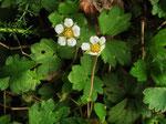 Erdbeer-Fingerkraut (Foto: Wolfgang Voigt)