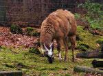 Lama (Guanako) im Alsdorfer Tierpark (Foto: Wolfgang Voigt)