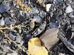 Gut getarnt: Blauflügelige Ödlandschrecke (Foto: Wolfgang Voigt)