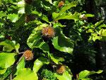 Früchte der Rotbuche (Foto: Wolfgang Voigt)