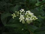Liguster, Blütenstand (Foto: Wolfgang Voigt)