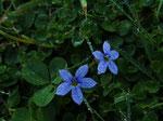 Blüten vom Blauen Bubikopf (Foto: Wolfgang Voigt)