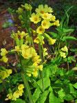 Blütenstände der Hohen Schlüsselblume (Foto: Wolfgang Voigt)