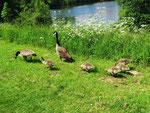 Kanadagans-Familie (Foto: Wolfgang Voigt)