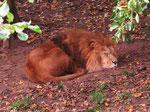 Löwe im GaiaZoo (Foto: Wolfgang Voigt)
