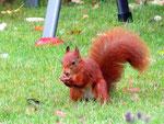 Eichhörnchen (Foto: Wolfgang Voigt)