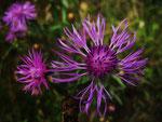 Wiesen-Flockenblume (Foto: Wolfgang Voigt)