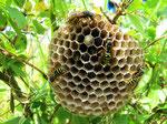 Feldwespen am Nest (Foto: Wolfgang Voigt)