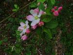 Apfelblüten (Foto: Wolfgang Voigt)