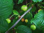 Fruchtende Vogel-Kirsche (Foto: Wolfgang Voigt)