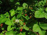 Wald-Erdbeeren als Bodendecker im Garten (Foto: Wolfgang Voigt)