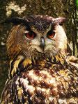 Uhu-Porträt, Alsdorfer Tierpark (Foto: Wolfgang Voigt)