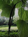 Früchte am Trompetenbaum (Foto: Wolfgang Voigt)