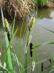 Blühende Sumpf-Segge (Foto: Wolfgang Voigt)