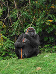 Gorilla im GaiaZoo (Foto: Wolfgang Voigt)
