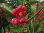 Fruchtendes Pfaffenhütchen (Wolfgang Voigt)