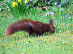 Eichhörnchen auf der Suche (Foto: Wolfgang Voigt)