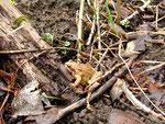 Gerettet: dieser Grasfrosch wurde an geeigneter Stelle freigelassen und ist auf dem Weg ins benachbarte Naturschutzgebiet.