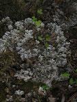 Blättrige Cladonie (Foto: Wolfgang Voigt)