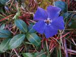 Frühe Blüte vom Immergrün (Foto: Wolfgang Voigt)
