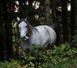Das Waldpferd