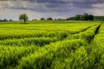 Getreidefeld bei Grömitz