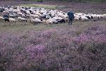 Schafherde Misselhorner Heide