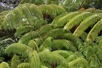 Baum Farn