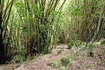 Bambus im Regenwald
