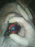 Congestión conjuntival, úlcera corneal y edema corneal asociado