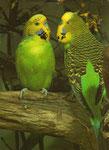 Das große Buch der Vögel in Käfig und Voliere: DAS  Buch für Anfänger und Fortgeschrittene, präzise Informationen, leicht verständlich, reich bebildert.
