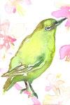 """""""メジロ""""  water color,paper 10×14.8cm"""