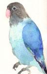 """""""ブルーボタンインコ""""  watercolor,paper 10×14.8cm"""
