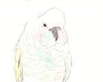 """""""タイハクオウム""""  watercolor,paper 10×14.8cm"""