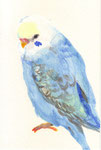 """""""ブルーセキセイインコ""""  watercolor,paper 10×14.8cm"""