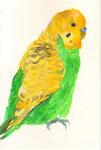 """""""セキセイインコ""""  water color,paper 10×14.8cm"""