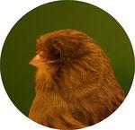 Gloster Consort ( Glattkopfvogel)