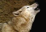 Referenzfoto: Wolfsblut von Markus Walti