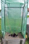curaflora im Tomatenhaus - Junge Tomaten eingepflanzt