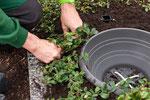 Bodendecker werden nachgepflanzt