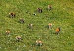 Parco Nazionale d'Abruzzo, Lazio e Molise, cervi