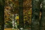 Parco Nazionale d'Abruzzo, Lazio e Molise, faggi