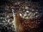 Parco Nazionale d'Abruzzo, Lazio e Molise, cerbiatto
