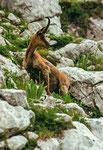Parco Nazionale d'Abruzzo, Lazio e Molise, camoscio