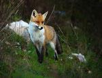 Parco Nazionale d'Abruzzo, Lazio e Molise, volpe