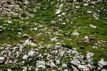 Parco Nazionale d'Abruzzo, Lazio e Molise, camosci