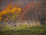 Parco Nazionale d'Abruzzo, Lazio e Molise,cervi