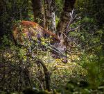 Parco Nazionale d'Abruzzo, Lazio e Molise, cervo