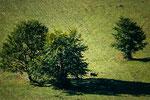 Parco Nazionale d'Abruzzo, Lazio e Molise, cervo a Coppo di Ferroio
